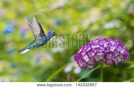 Hummingbird in flight with hydrangea flower over green background
