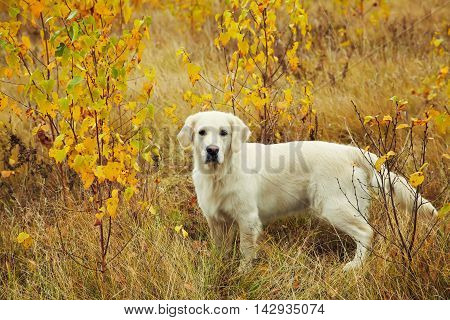 Young golden retriever for a walk in nature. Dog breed labrador outdoors.