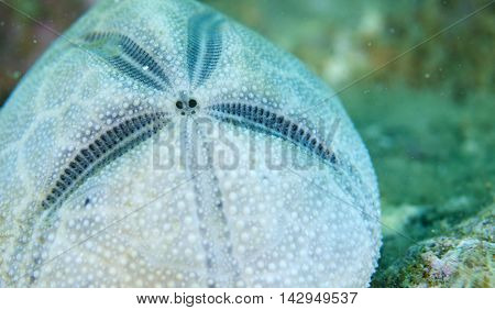 Close up of Flower Urchin under the sea