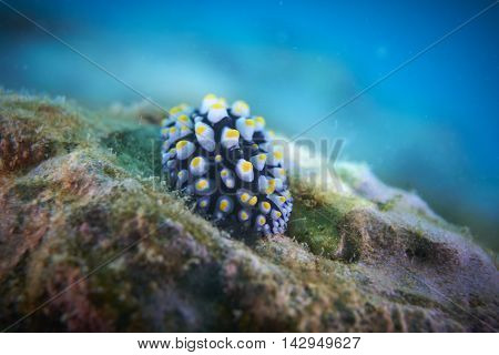 A nudibranch is grazing on the algae covered reef. which the yellow pustules on the mantle are clearly grouped into three longitudinal rows.
