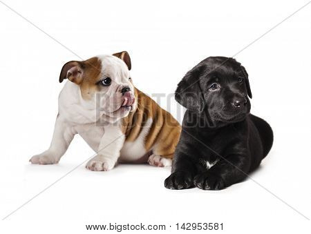 Labrador puppy and english Bulldog puppy