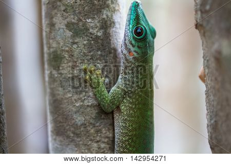Close up shot of the gecko on the tree branch in a forest. Madagascar