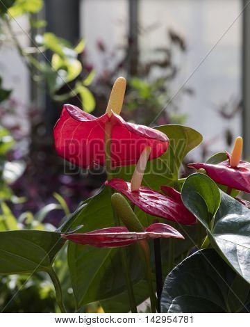 Spathiphyllum Flower In The Garden