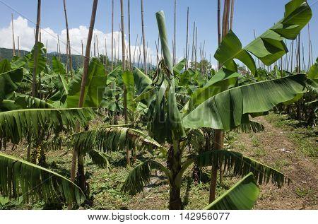 banana tree in the farm with nobody
