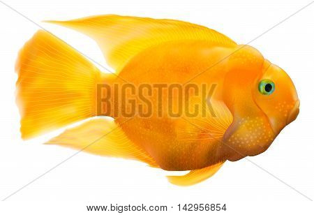 A realistic vector illustration of a parrot fish. Contains gradient meshes and transparent objects.