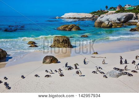 African black-white penguins. The sandy beach on the Atlantic coast of Africa. Boulders Penguin Colony in the Table Mountain National Park. The concept of  ecotourism