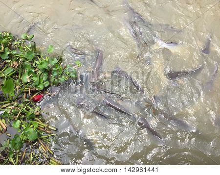 Lot of Pangasius fish in the river, Thailand