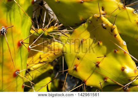 Macro photography of an old prickly pear cactus with long thorns