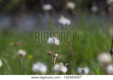 dandelion, meadow, greenery summer flora flower closeup