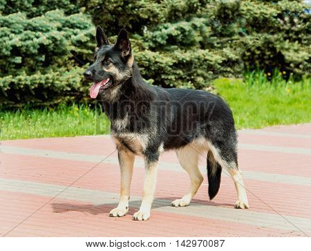 German shepherd black and white looks.   The German shepherd is in the city park.