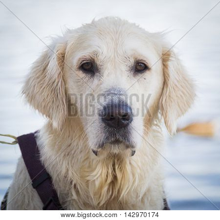 Pensive Golden Retriever Dog