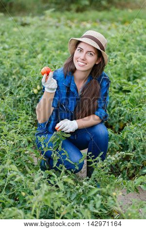 Woman in plantation of tomatoes. Young farmer harvesting tomatoes. Woman in her garden harvesting tomatoes. Happy young girl with tomato. Harvesting