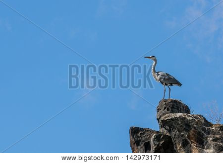 Grey Heron standing on cliff against the blue sky