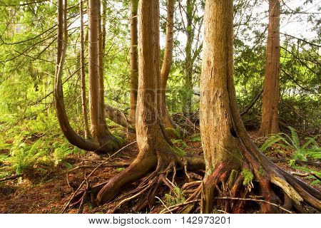 a picture of an exterior Pacific Northwest forest grove of  Western red cedar trees