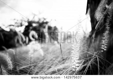 Black And White Photo,close Up Long Grass Field Texture Background