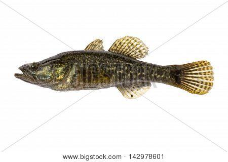 Freshwater predatory fish rotan isolated Perccottus glenii Amur Sleeper side view