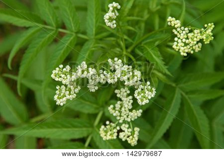 Soft focus of home grown White Elderberry plant (Sambucus gaudichaudiana) with white flowers and blurred green leaves background in Australia