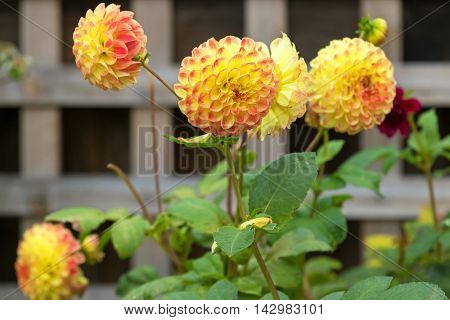 Home grown Pompom Dahlia flowers in yellow color marked with peach edge blooming in the garden