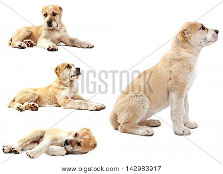 Central Asian Shepherd puppy collection isolated on white