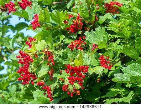 Bunches Of Red Viburnum Berries On A Branch