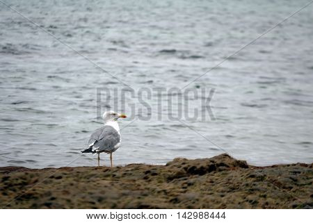Seagull In The Reef