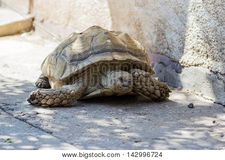 Earthen Turtle Crawling In The Early Morning On Track