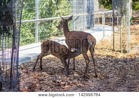 Spotted Fawn Drinking Milk From His Mother