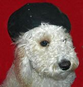 stock photo of cockapoo  - fizzgig the stylish cockapoo likes wearing hats