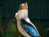 stock photo of blue winged kookaburra  - close - JPG