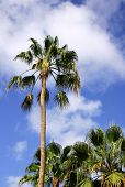 image of washingtonia  - washingtonia palms against blue sky - JPG