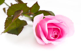image of pink rose  - Single pink rose in vertical isolated over white background - JPG