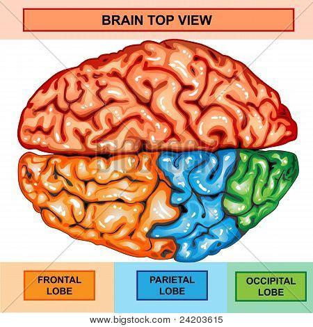 Human brain top view