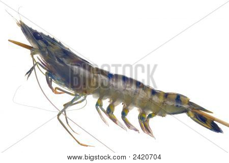 Raw Black Tiger Prawn On A Skewer