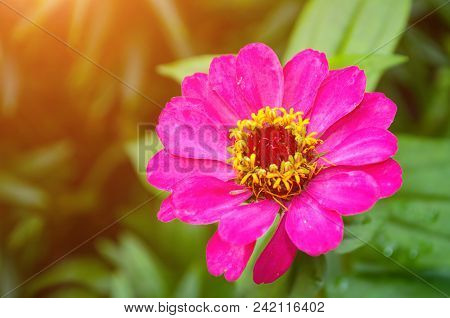 poster of Zinnia Flower, Closeup View Of Sinnia Summer Flower In Summer Bloom. Flower Background With Summer Z