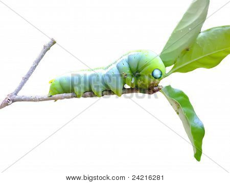 green larva on green leaf