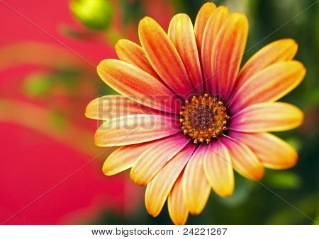 Colorful daisy, marguerite flower, outdoor