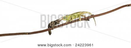 Two Mt. Meru Jackson's Chameleons, Chamaeleo jacksonii merumontanus, partially shedding and perched on branch in front of white background