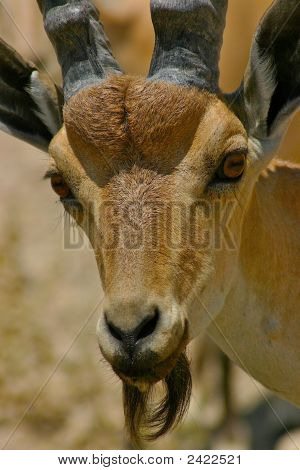 Ibex-Close Up