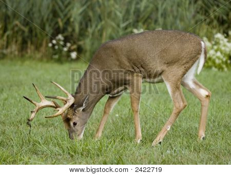 Whitetail Deer Buck (Odocoileus Virginianus)