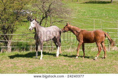 Horses Go To Pasture.