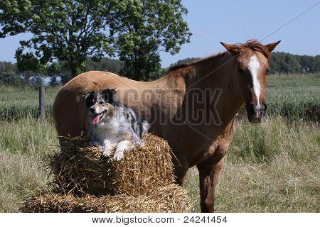 Australian Shepherd With Horse