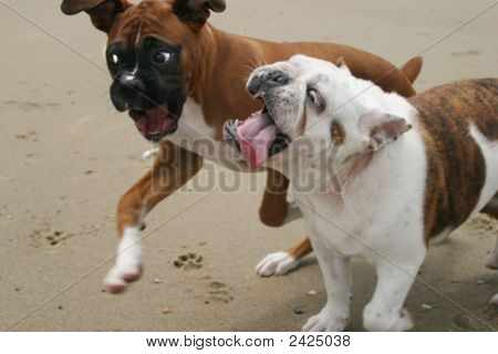 A Bulldog Being Chased By A Boxer
