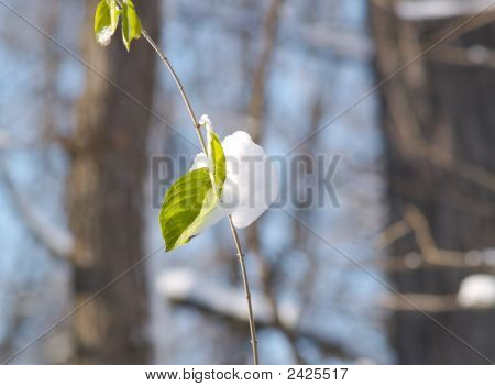 Single Leaf With Snow