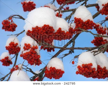 Ashberry Under The Snow