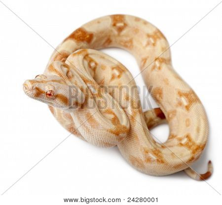 Albinos Boa constrictor, Boa constrictor, 2 months old, in front of white background