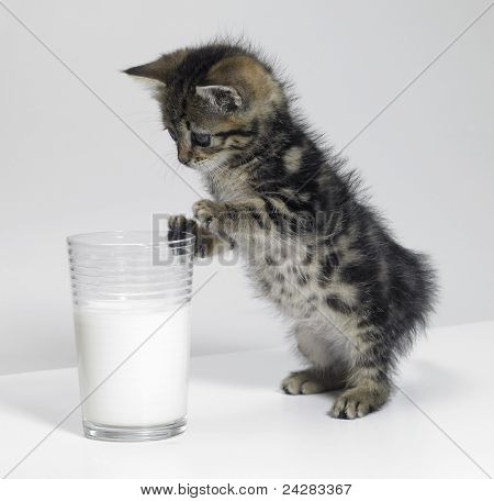 Kitten Looking At A Glass Of Milk