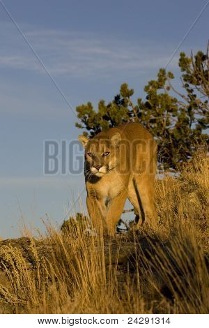 Mountain Lion walks along mountain edge
