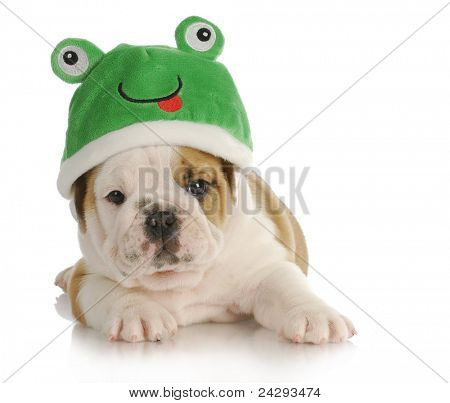 Rana de cachorro - adorable inglés bulldog vistiendo sombrero de rana cachorro con reflexión sobre fondo blanco