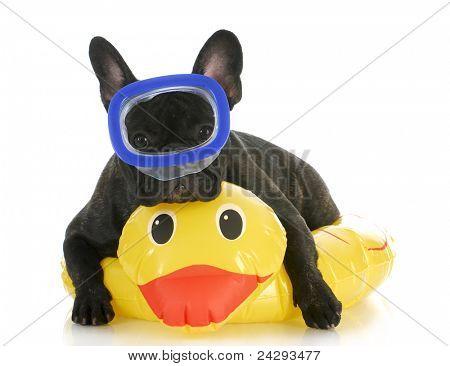dog swimming - french bulldog wearing swimming mask laying on yellow duck life preserver
