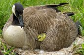 pic of mother goose  - A Canadian gosling under its mothers wing - JPG